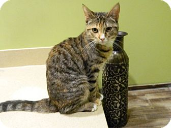 Calico Cat for adoption in The Colony, Texas - Cinder