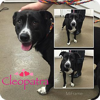 Border Collie/Pit Bull Terrier Mix Dog for adoption in Steger, Illinois - Cleopatra