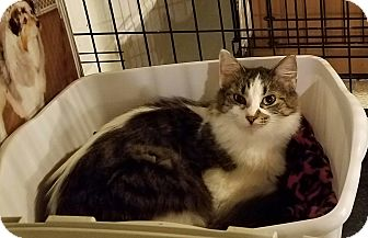 Domestic Longhair Cat for adoption in Geneseo, Illinois - Amanda