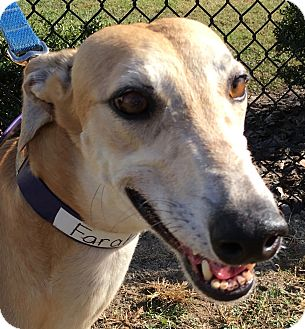 Greyhound Dog for adoption in Longwood, Florida - Turbo Farah