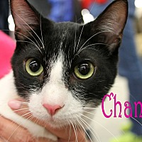 Domestic Shorthair Cat for adoption in Wichita Falls, Texas - Chance