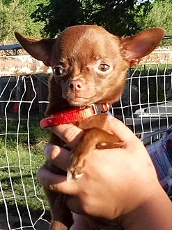 Chihuahua Mix Dog for adoption in Peralta, New Mexico - **APPLE BLOSSOM