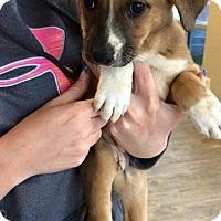 Adopt A Pet :: Almond - Manassas, VA