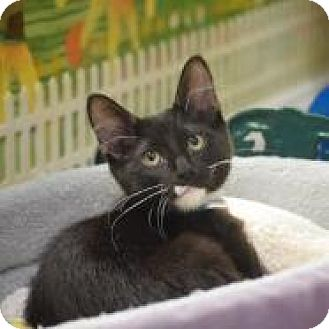 Domestic Shorthair Kitten for adoption in Dallas, Texas - Ghirardelli