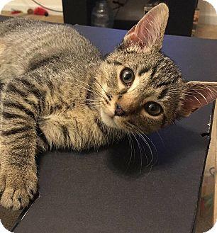 American Shorthair Kitten for adoption in Tega Cay, South Carolina - Delilah