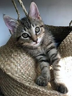 Domestic Shorthair Kitten for adoption in Mississauga, Ontario, Ontario - Shisa