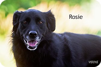 Flat-Coated Retriever Mix Dog for adoption in Lisbon, Iowa - Rosie