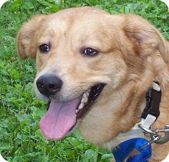 Australian Shepherd/Labrador Retriever Mix Dog for adoption in Tipp City, Ohio - Anakin - ADOPTED !