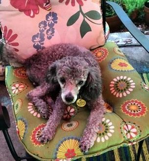 Poodle (Miniature) Mix Dog for adoption in St. Petersburg, Florida - Puppup