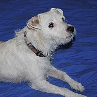 Jack Russell Terrier/Parson Russell Terrier Mix Dog for adoption in San Francisco, California - Alix