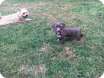 Poodle (Miniature)/Chihuahua Mix Puppy for adoption in Portland, Oregon - Pixie