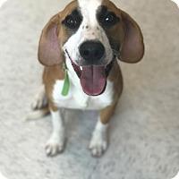 Beagle Mix Puppy for adoption in Binghamton, New York - Bandit