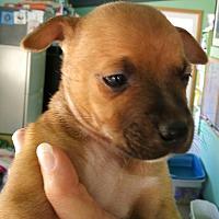 Adopt A Pet :: Puppy #5 - Creston, CA