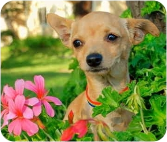 Chihuahua Mix Puppy for adoption in San Clemente, California - Pan