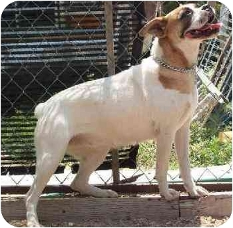 Boxer/English Bulldog Mix Dog for adoption in Goodland, Kansas - Porkchop