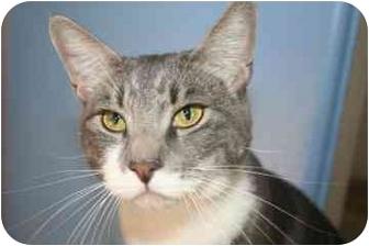 Domestic Shorthair Cat for adoption in tucson, Arizona - Jeff