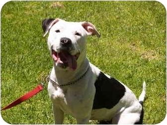 Pit Bull Terrier Mix Dog for adoption in El Cajon, California - Sadie