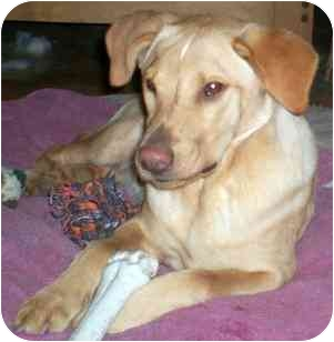 Terrier (Unknown Type, Small)/Golden Retriever Mix Dog for adoption in Wake Forest, North Carolina - Bangles