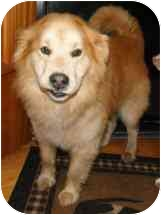 Golden Retriever Mix Dog for adoption in Salem, New Hampshire - Boo Bear