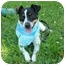 Photo 1 - Rat Terrier Dog for adoption in Portsmouth, Rhode Island - Jack