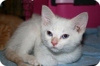 Domestic Shorthair Kitten for adoption in Harrisonburg, Virginia - Marco