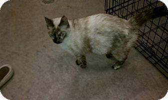 Siamese Cat for adoption in Albert Lea, Minnesota - Mazie