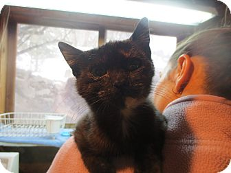 Domestic Shorthair Kitten for adoption in Colville, Washington - Snickers