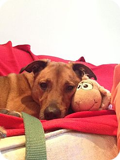 Black Mouth Cur/Labrador Retriever Mix Dog for adoption in Guelph, Ontario - Zoie
