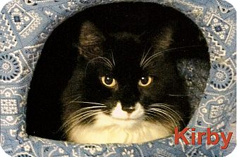 Domestic Mediumhair Cat for adoption in Medway, Massachusetts - Kirby