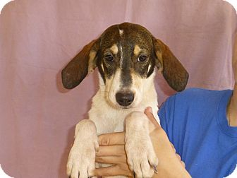 Treeing Walker Coonhound Mix Puppy for adoption in Oviedo, Florida - Mary