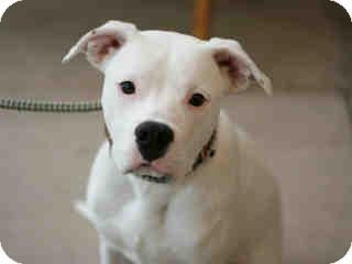 American Bulldog Puppy for adoption in Litchfield Park, Arizona - Xanny - Only $105 adoption!