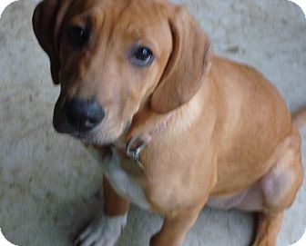 Mastiff/Hound (Unknown Type) Mix Puppy for adoption in Richmond, Virginia - Angel