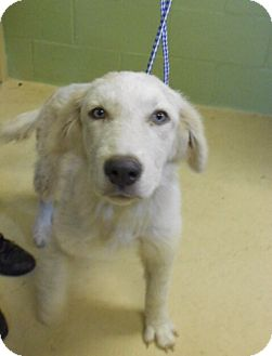 Golden Retriever/Great Pyrenees Mix Puppy for adoption in knoxville, Tennessee - WHISPER