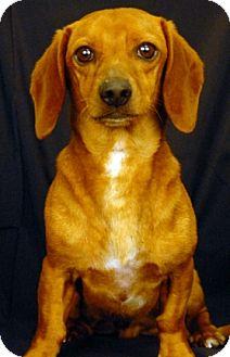 Dachshund Dog for adoption in Newland, North Carolina - Toby