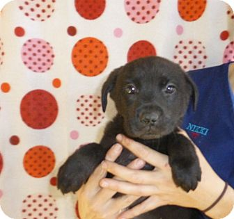 Golden Retriever/Labrador Retriever Mix Puppy for adoption in Oviedo, Florida - Copper