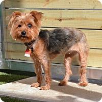 Adopt A Pet :: Winnie - Fairfax, VA