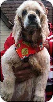 Cocker Spaniel Dog for adoption in Flushing, New York - Mary