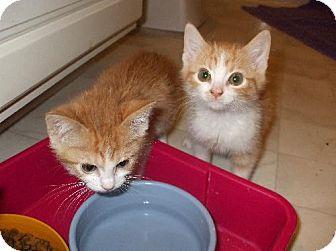 Domestic Shorthair Kitten for adoption in Lenexa, Kansas - Bonnie & Clyde