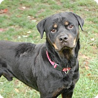 Rottweiler Mix Dog for adoption in Boiling Springs, Pennsylvania - Reggie