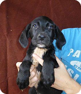 Golden Retriever/Labrador Retriever Mix Puppy for adoption in Oviedo, Florida - Tinker