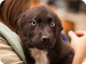 Labrador Retriever Mix Puppy for adoption in Dallas, Texas - Tony