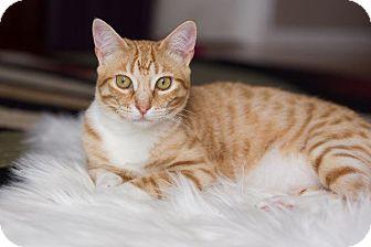 Domestic Shorthair Cat for adoption in Valley Park, Missouri - Pancake