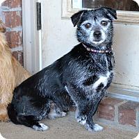 Adopt A Pet :: *Scrat - PENDING - Westport, CT