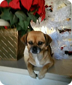 Pug/Terrier (Unknown Type, Small) Mix Dog for adoption in Marina del Rey, California - Crissie (aka Penny)