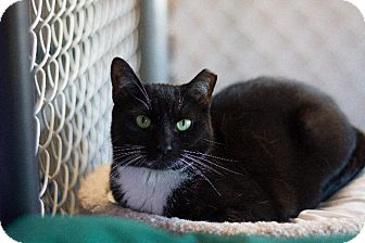 Domestic Shorthair Cat for adoption in Freeport, New York - Chip
