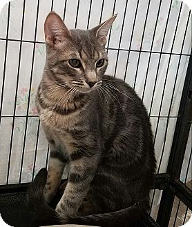 Domestic Shorthair Cat for adoption in Fallbrook, California - Matt Murdock