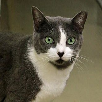 Domestic Shorthair/Domestic Shorthair Mix Cat for adoption in Morgan Hill, California - Spitfire