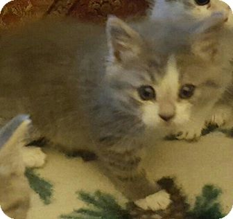 Domestic Shorthair Kitten for adoption in Irwin, Pennsylvania - Roxy