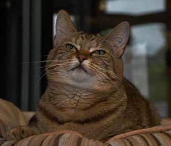 Domestic Shorthair Cat for adoption in Cincinnati, Ohio - Dara