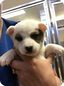 Terrier (Unknown Type, Small)/Chihuahua Mix Puppy for adoption in San Antonio, Texas - Pony-Boy